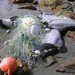 因為漁網纏繞而死的賀氏矮海豚 。(WWF提供)