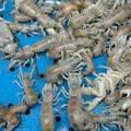 微小的蝦猴代表的是一整個城市、鄉鎮的文化