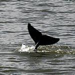 近日出現在西加里曼丹的伊洛瓦底海豚(照片節錄自WWF印尼分會,Syahirsyah攝)