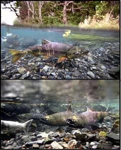 於大槌川支流源水川內逆流而上的鮭魚。節錄自朝日新聞,金川雄策(上)、葛谷晉吾(下)攝。