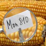 孟山都的MON810玉米是全歐盟唯一允許種植的基改作物。