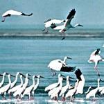 西伯利亞白鶴都會飛到鄱陽湖區過冬(圖片節錄自網路)