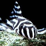星谷河的特有種acari zebra