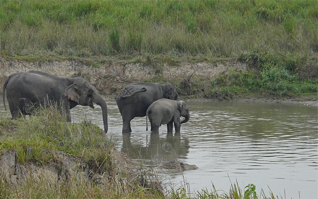 印度阿薩姆邦境內的野生亞洲象。 Rita Willaert拍攝