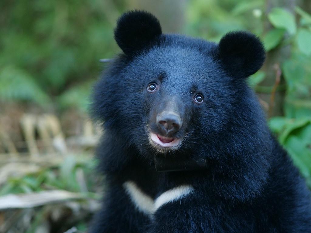 黑熊落難記:南安小熊的辛苦返家之路