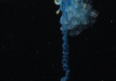 僧帽水母的身體是由不同分工的群體所組成,最明顯的就是頂部膨大的浮囊,可提供漂浮所需的浮力;下方分別有特化為補食功能的觸手、生殖功能的生殖體及葫蘆狀的營養體。由於造型奇特,又有葡萄牙戰艦之稱,觸手毒性非常強,有致命的危險!