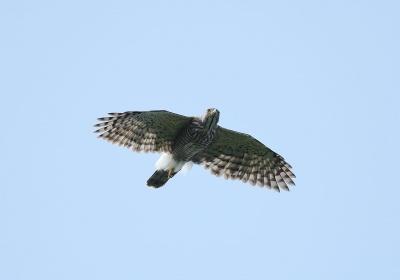 鳳頭蒼鷹(雄),陳王時攝,台北市野鳥學會提供。