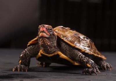 琉球地龜僅分布於日本,主要威脅為棲地縮減和零碎化,次為國際寵物貿易需求。林務局提供。