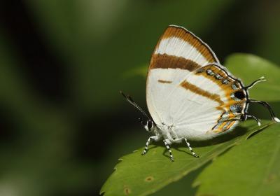 拉拉山鑽灰蝶。攝影:呂晟智。
