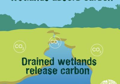 濕地是碳儲存庫,抽乾濕地,就等於排碳。