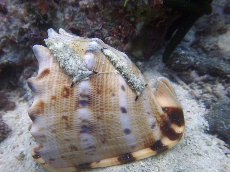 趴在唐冠螺上的一對海蛞蝓。圖片作者:Mindy Tang,請勿任意轉載。