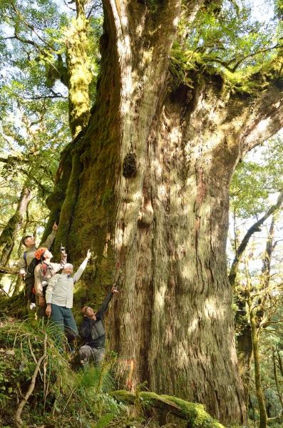 需多人環抱紅檜巨木