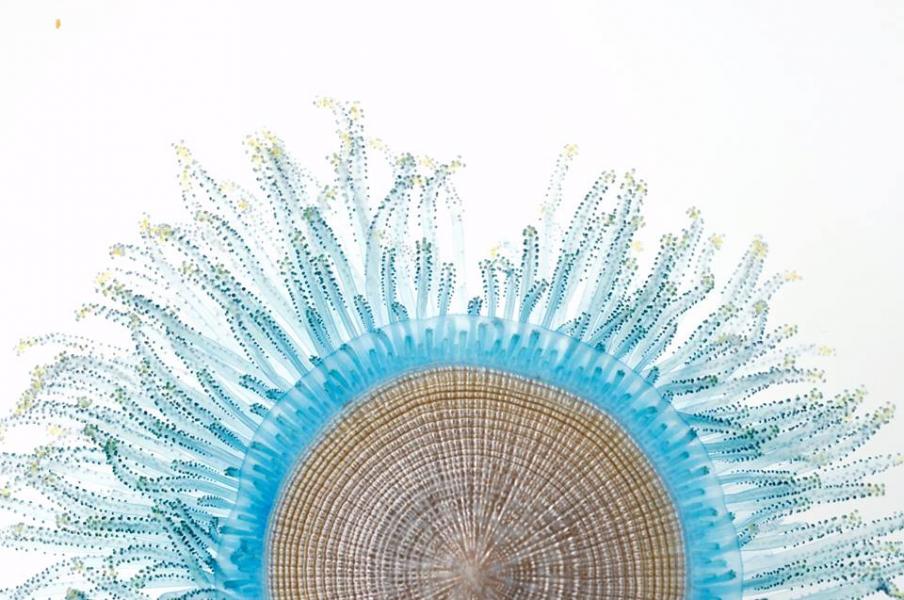 特化的盤狀構造,是讓錢幣水母漂流海面的重要構造。