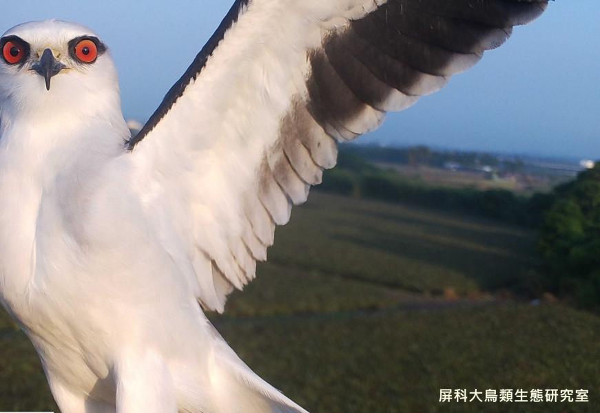 「看我翅膀多美!」,攝影:屏科大鳥類生態研究室