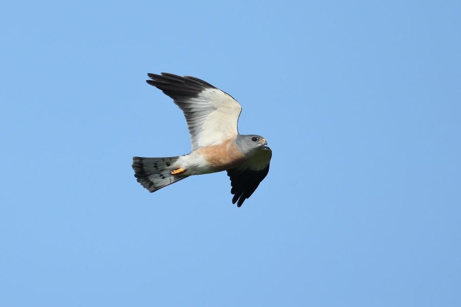 赤腹鷹(雄),陳王時攝,台北市野鳥學會提供。
