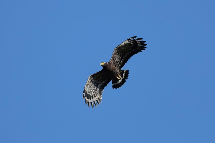 大冠鷲,陳王時攝,台北市野鳥學會提供。