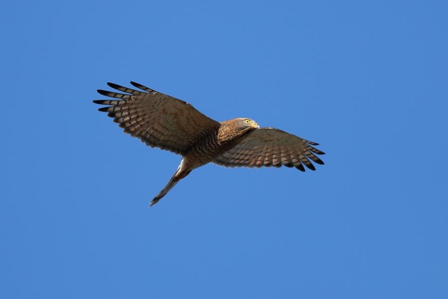 灰面鷲,陳王時攝,台北市野鳥學會提供。