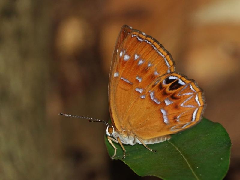 白點褐蜆蝶。攝影:黃行七。