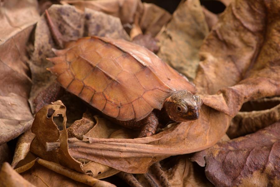 黑胸葉龜分布中國大陸、寮國及越南等國,因龜肉和寵物的需求,導致野外族群受極大獵捕壓力。林務局提供。
