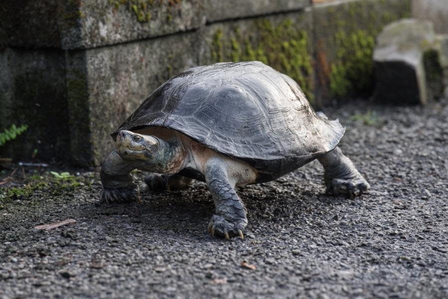 黃頭廟龜為大型龜,分布於東南亞等國,國際走私量高。林務局提供。