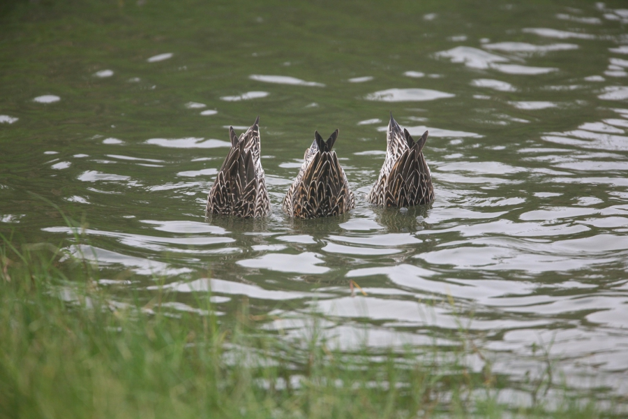 尖尾鴨倒立覓食有如水中竹筍。陳王時攝,台北鳥會提供。