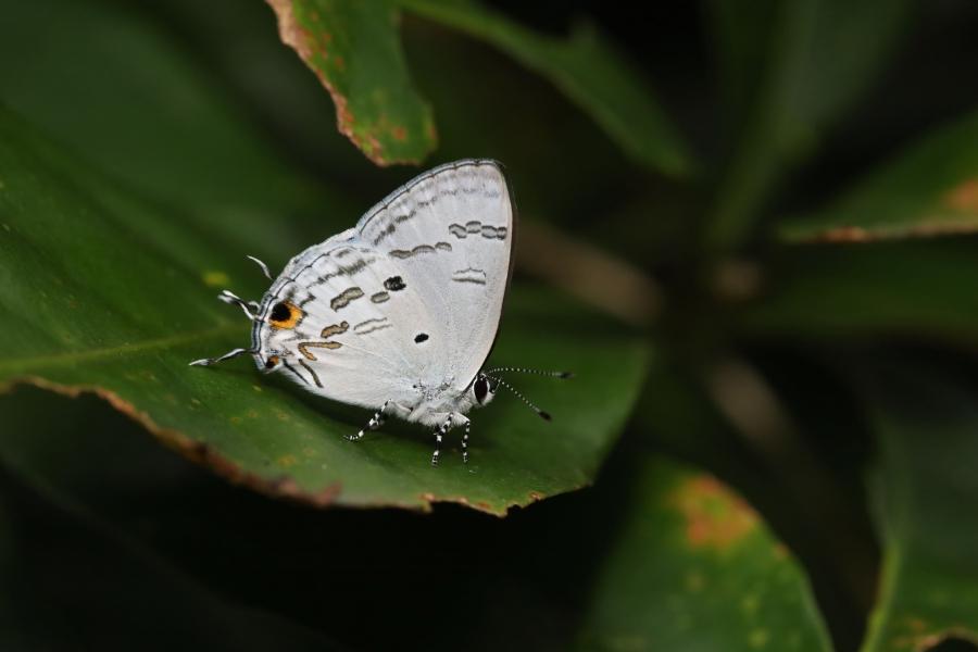 蘭灰蝶。攝影:呂晟智。