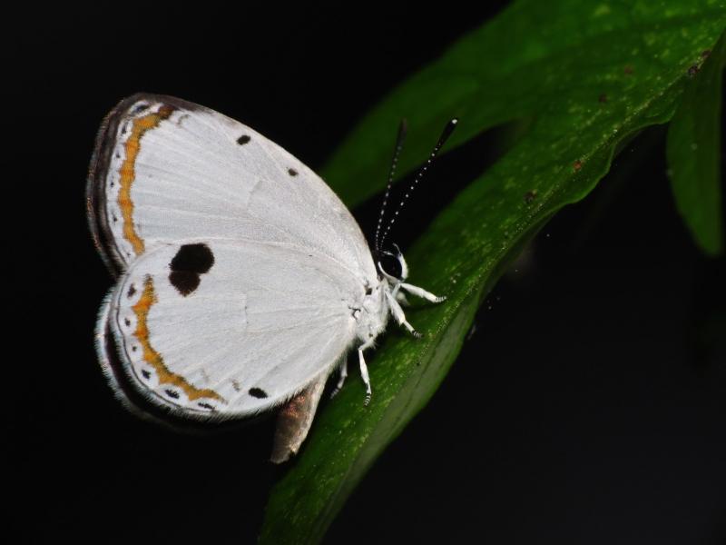 藍丸灰蝶。攝影:黃行七。