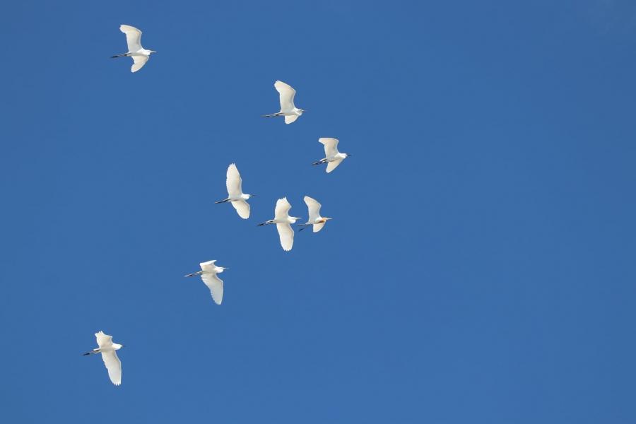 鷺絲群。圖:荒野保護協會