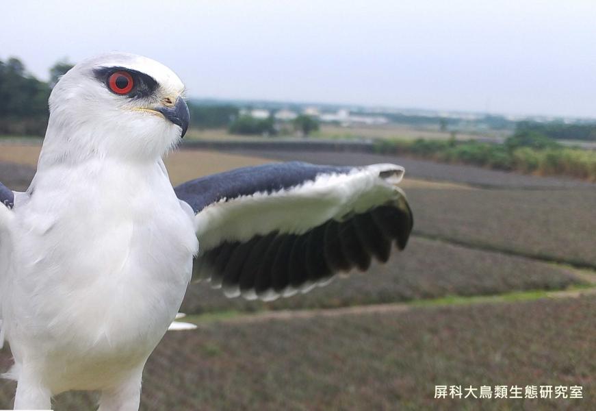 「飛行中的我是什麼模樣?」,攝影:屏科大鳥類生態研究室