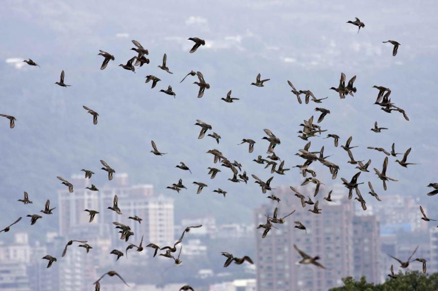 群鴨高飛的勝景。曾雲龍攝,台北鳥會提供。