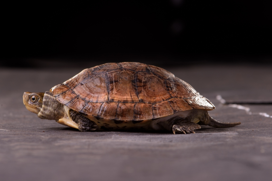 眼斑龜產於中國大陸,野外族群持續減少中,且過去曾為貿易中常見物種,但現在也已經很少出現。林務局提供。