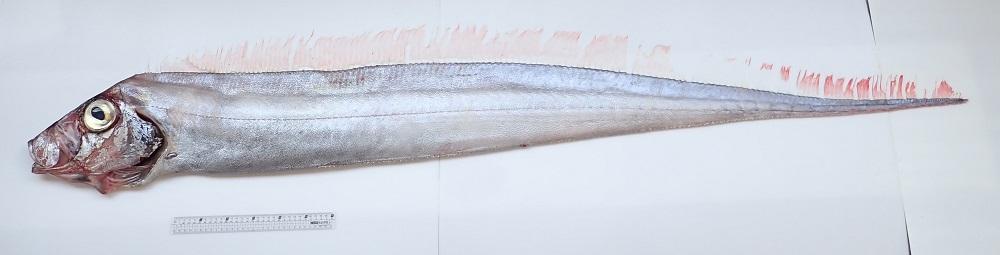 石川粗鰭魚,台江國家公園新紀錄種。石川粗鰭魚是深海魚種,棲息水深可達1000公尺,在台灣西部沿海十分罕見。