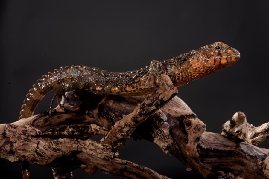 瑤山鱷蜥分布於中國大陸,於棲息地受大量非法收購和捕捉。林務局提供。