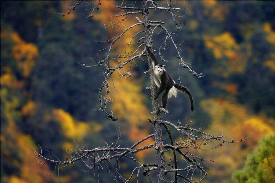 滇金絲猴。攝影:奚志農(本照片不適用CC 共創授權)