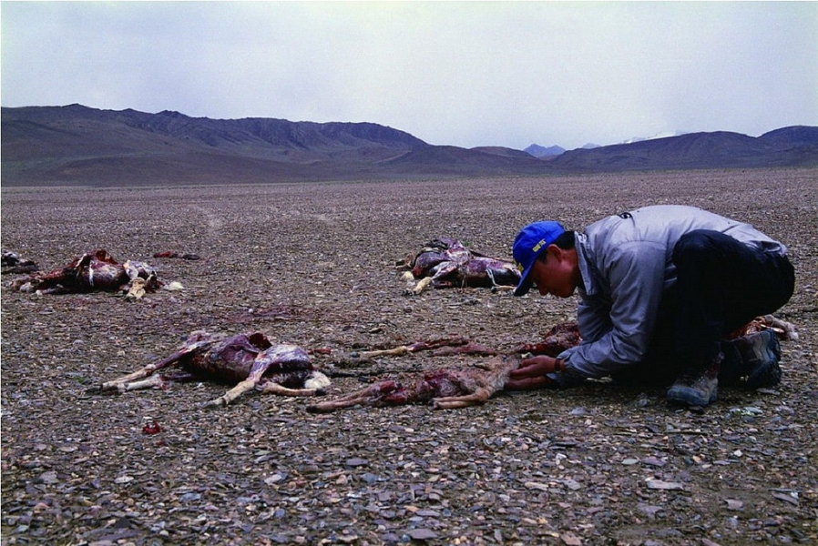 藏羚羊盜獵問題猖獗,照片成了外界了解真相的證據。攝影:奚志農(本照片不適用CC 共創授權)
