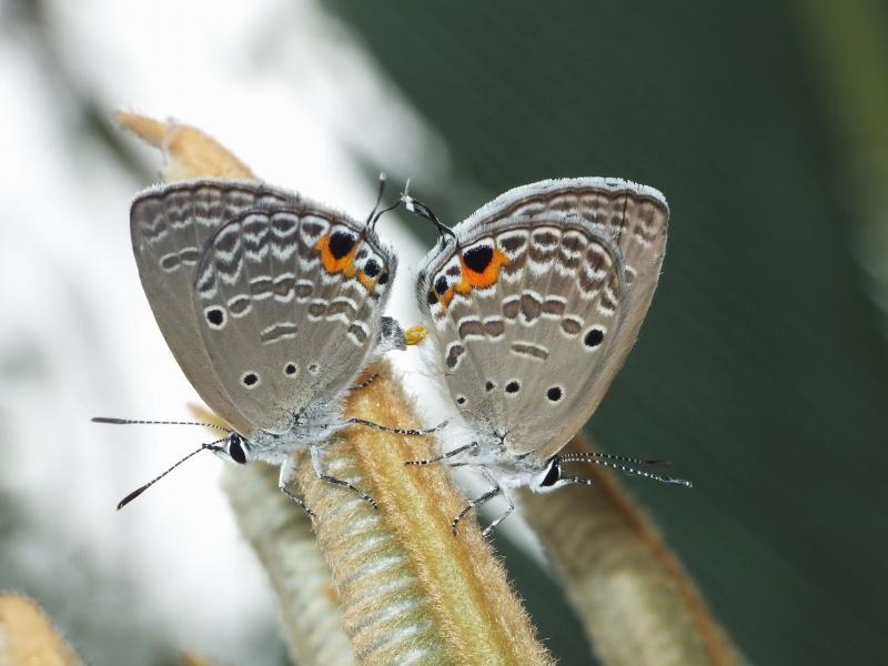 蘇鐵綺灰蝶。攝影:黃行七。