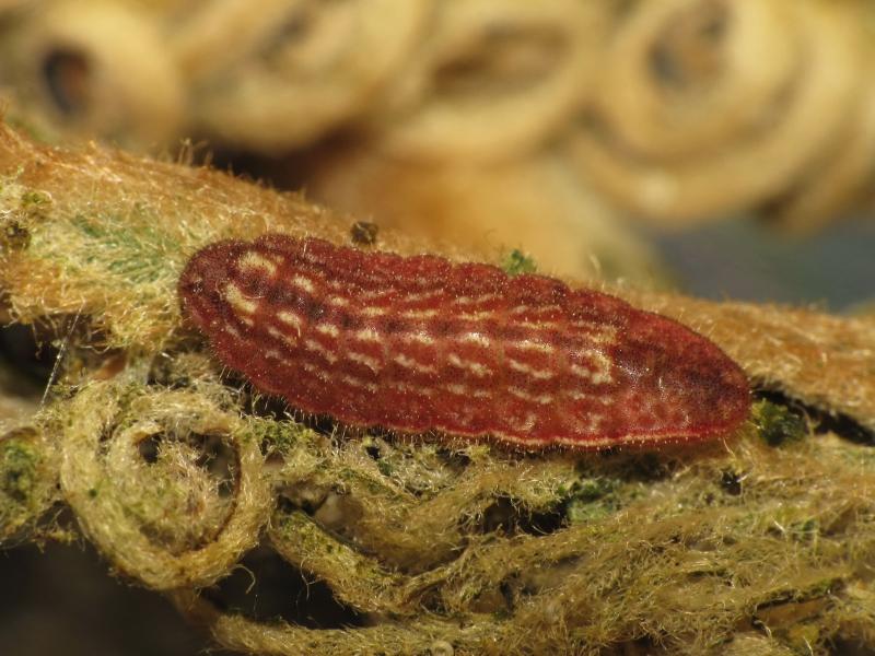 蘇鐵綺灰蝶的幼蟲吃蘇鐵。攝影:黃行七。