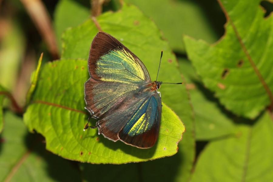 台灣榿翠灰蝶。攝影:呂晟智。