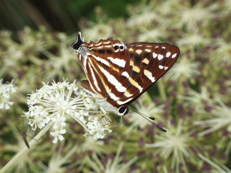 台灣尾蜆蝶。攝影:黃行七。