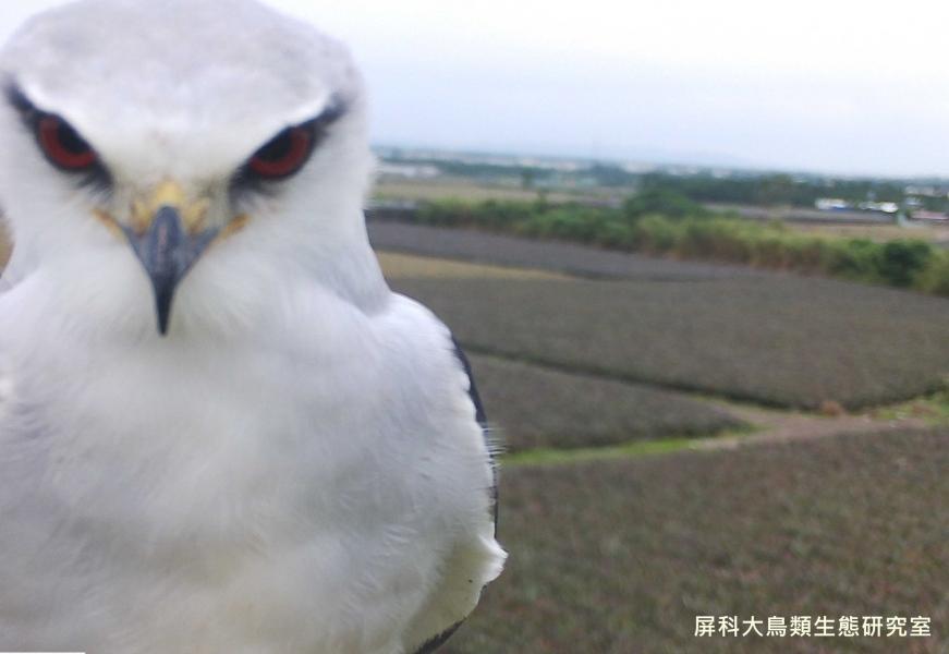 「小心一點,我正在看著你!」,攝影:屏科大鳥類生態研究室