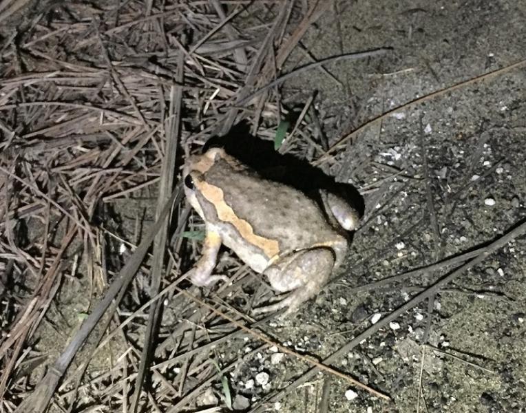 亞洲錦蛙。台江國家公園新紀錄種,不幸地是,也是外來入侵種。