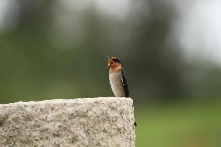 洋燕。圖:荒野保護協會