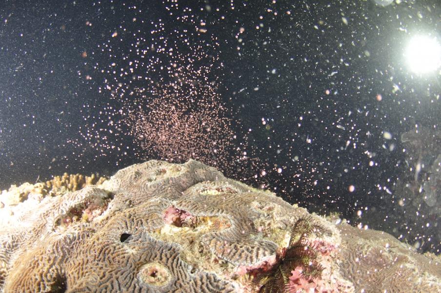 正在釋出精卵束的片腦紋珊瑚。攝影:郭兆揚