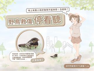 地面上有看起來飛不起來的鳥怎麼辦?夜鷹其實是常見地棲型鳥類,不須介入救傷