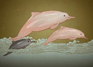 中華白海豚(Sousa chinensis),中國擁有全球最大的中華白海豚種群,珠江口海域有超過2000頭。其正受到各種沿岸和海上人類活動的影響。IUCN瀕危等級:易危(VU) 。