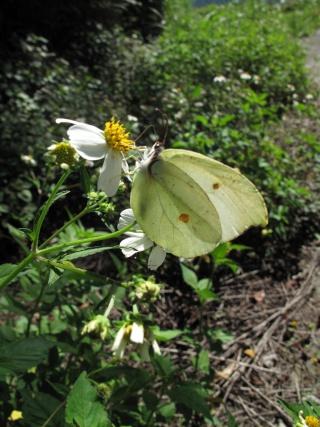 圓翅鈎粉蝶。特生中心提供,林明璋攝。