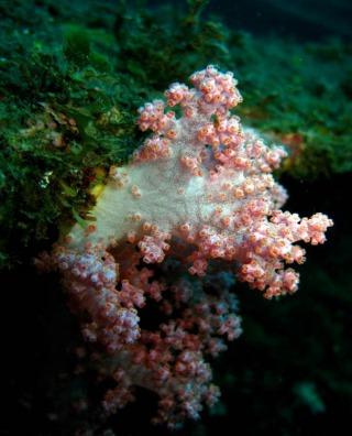 恆春骨穗軟珊瑚