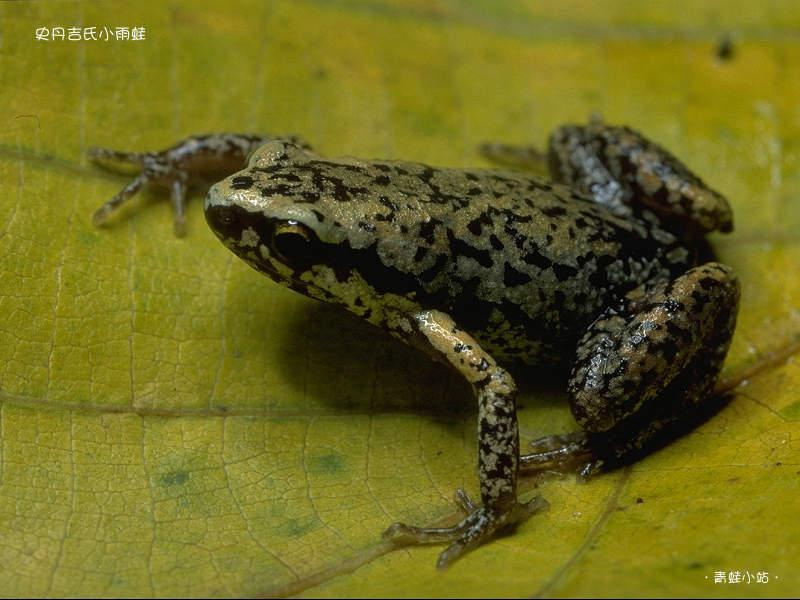 史丹吉氏小雨蛙。(圖片來源:青蛙小站)