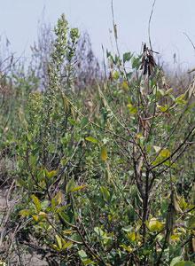 黃野百合植株。
