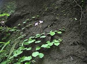 匍伏生長的圓葉布勒德藤沿崖壁蔓生,進入新崩過的區域。
